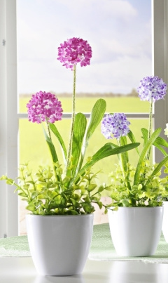 Topfblume Allium flieder