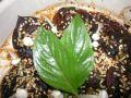 Gegrillte Shitake - Pilze